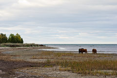 Cows. At the coast in autumn Stock Photo