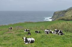 Cows in coastal ambiance Stock Image