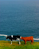 Cows in coastal field in ireland royalty free stock image