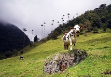 Cows in Cocora valley, Cordiliera Central, Salento, Colombia. The Cocora valley - Valle de Cocora in spanish - is a valley in the department of Quindío in the royalty free stock photo