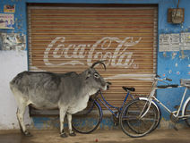 Cows and Coke. Khajuaho, India, January 1, 2015; Juxtaposition of old and modern India with a holy cow standing in front of an advertisment for Coca Cola Royalty Free Stock Image