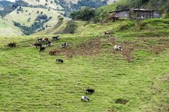 Cows in Colombia Stock Photography