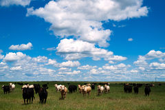 Cows Come When Called Beautiful Day Ranch Livestock Royalty Free Stock Photos