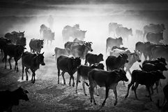 The cows come home Royalty Free Stock Images