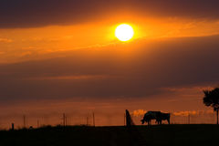 When the Cows Come Home. Cows grazing in the sunset stock photos