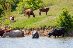Cows come to drink water from the lake in village Stock Image