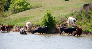 Cows come to drink water from the lake in village Stock Images