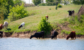 Cows come to drink water from the lake in village Stock Photos