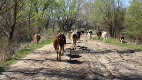 Cows comes back from pasture stock video