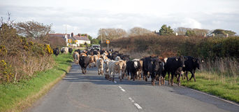 Cows coming down the road Stock Images