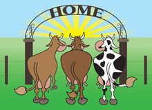 Cows Coming Home. Three cows returning to home pasture Stock Photos