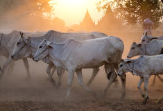 Cows coming home at the sunset Stock Photo