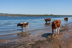 Cows are cooling in river on hot summer afternoon. Stock Photo