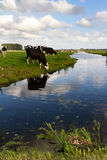Cows and coots Stock Image
