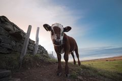Cows in Cornwall Royalty Free Stock Image