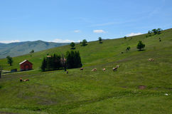 Cows on a country field with a house and hills Stock Photo
