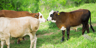 Cows in the country Stock Images