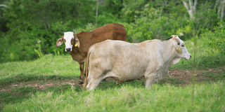 Cows in the country Royalty Free Stock Photography