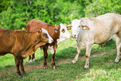 Cows in the country Royalty Free Stock Images
