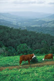 Cows in the country Royalty Free Stock Photos