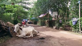 Cows, animal , cambodia stock footage