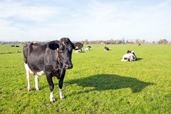 Cows in the countryside from Netherlands Stock Photo