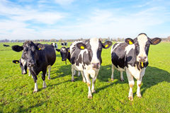 Cows in the countryside from Netherlands Royalty Free Stock Image