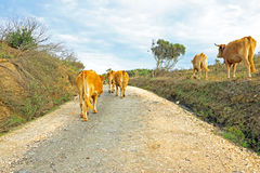 Cows in the countryside from Portugal Royalty Free Stock Images