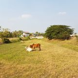 Cows. Cow calf farm agriculture beef meadow farm Royalty Free Stock Photo