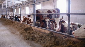 Cows in the cow shed eating hay stock footage