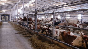 Cows in the cow shed eating hay stock video footage
