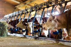 Cows in cowhouse Stock Photography