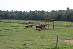 Cows. In a field Royalty Free Stock Photo