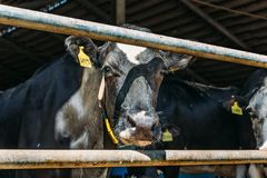 Cows in cowshed. Dairy cows. In farm royalty free stock photo