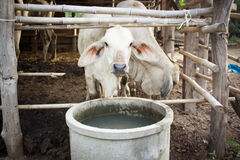 Cows in Cowshed Stock Images