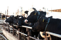 Cows in the cowshed Royalty Free Stock Images