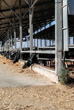 Cows in the cowshed Stock Photography