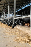 Cows in the cowshed Royalty Free Stock Photo