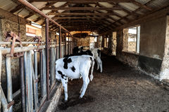 Cows in the cowshed Royalty Free Stock Photography