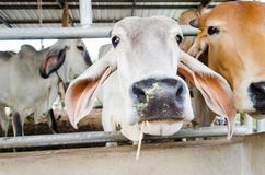 Cows in a cowshed Royalty Free Stock Images