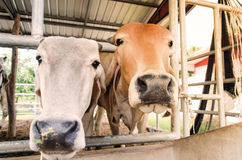 Cows in a cowshed Stock Images