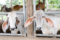Cows in a cowshed Royalty Free Stock Photo