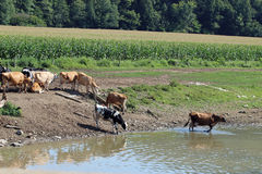 Cows by the creek Royalty Free Stock Photos