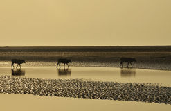 Cows crossing backwaters at everning Stock Image