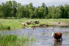 Cows crossing the river on a summer day Stock Photos