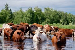 Cows crossing the river on a summer day Stock Image