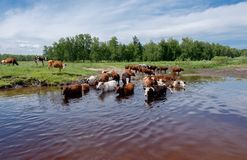 Cows crossing the river on a summer day Royalty Free Stock Photo