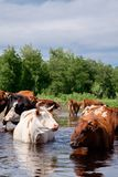 Cows crossing the river on a summer day Stock Photography