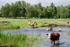 Cows crossing the river on a summer day Royalty Free Stock Image