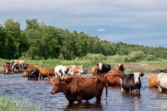 Cows crossing the river on a summer day Royalty Free Stock Photography